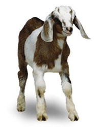Goat milk can be used to make an infant formula that many colicky babies can tolerate nicely